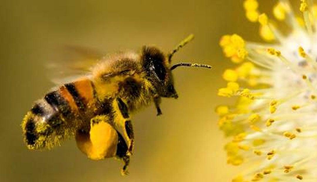 Ante la disminución de la población de abejas, Israel prueba polinización  mecánica