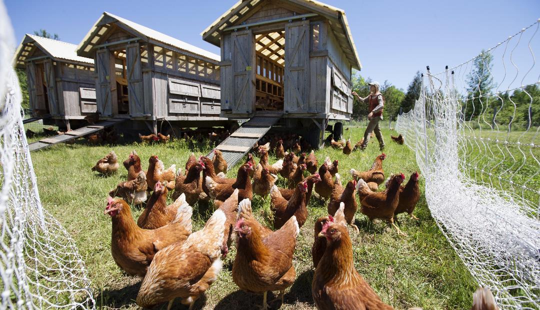 Las disposiciones del ICA son claves para poder iniciar una granja avícola