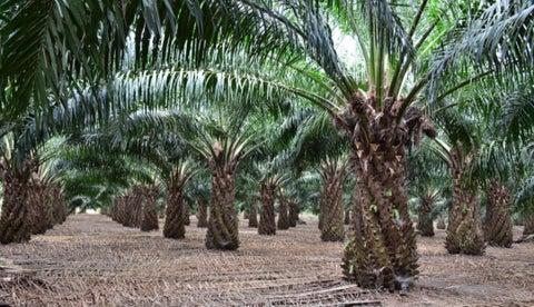 La industria de la palma de aceite genera más 160.000 empleos según  Fedepalma